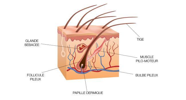 Schéma de la racine ds cheveux, follicule pileux et bulbe pileux
