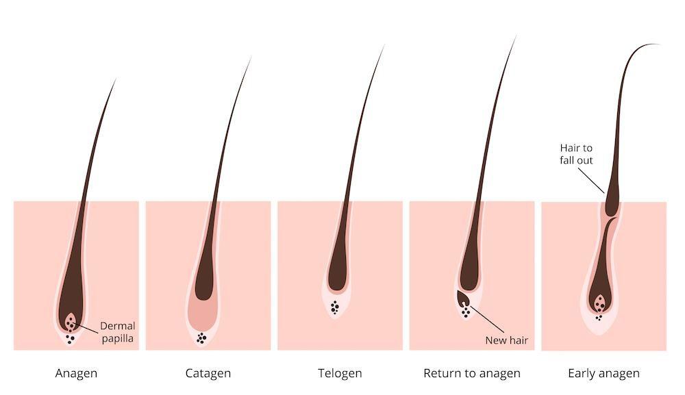 cycle de vie capillaire