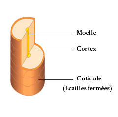 tige pilaire, composition, moelle, cortex et cuticule